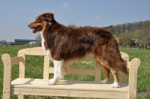 hunderasse australian shepherd. Black Bedroom Furniture Sets. Home Design Ideas