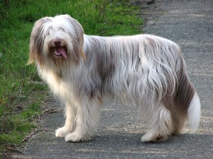 Bearded Collie (Bild)