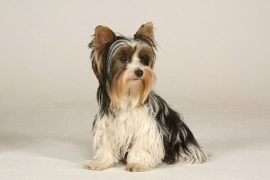 Biewer Yorkshire Terrier (Bild)