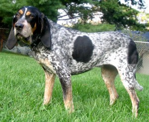 Bluetick Coonhound (Bild)