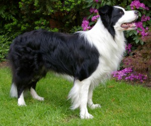 Border Collie (Bild)