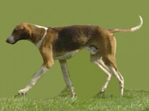 English Foxhound (Bild)
