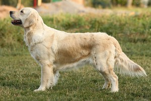 Golden Retriever (Bild)