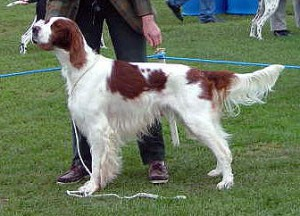 Irish Red and White Setter (Bild)