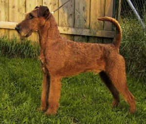 Irish Terrier (Bild)