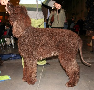 Irish Water Spaniel (Bild)