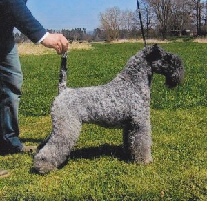 Kerry blue Terrier (Bild)