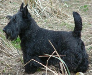 Scottish Terrier (Bild)