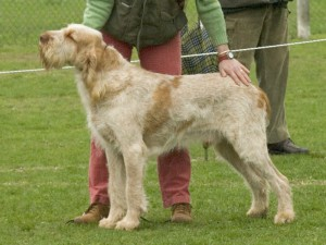 Spinone Italiano (Bild)