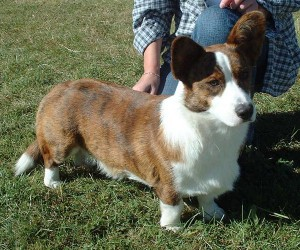 Welsh Corgi Cardigan (Bild)