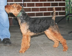 Welsh Terrier (Bild)