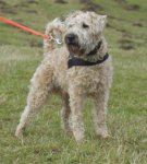 Irish Soft Coated Wheaten Terrier-Rüde (1. Ergebnis)