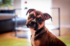 Foto: Olde English Bulldogge