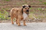 Border Terrier/Norfolk Terrier-Rüde (2. Ergebnis)