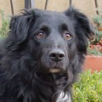 Flat-Coated Retriever/Border Collie-Rüde (3. Ergebnis)