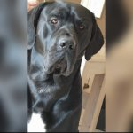 Cane Corso Italiano/Border Collie-Rüde in Nordrhein-Westfalen (2. Ergebnis)