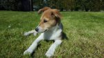 Jack Russell Terrier/Chihuahua-Mischlingswelpen (12. Ergebnis)