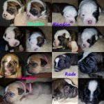 Olde English Bulldogge/Olde English Bulldogge-Mischlingswelpen (5. Ergebnis)