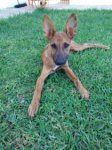 Podenco Andaluz/Podenco Andaluz-Mischlingswelpen (1. Ergebnis)