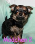 Chihuahua/Yorkshire Terrier-Mischlingswelpen (2. Ergebnis)