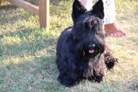 Foto: Scottish Terrier