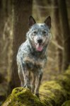 Australian Cattle Dog-Deckrüde in Saarland (5. Ergebnis)