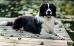 Border Collie-Deckrüde in Nordrhein-Westfalen (5. Ergebnis)