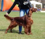 Irish Red Setter-Deckrüde in Westpommern (1. Ergebnis)