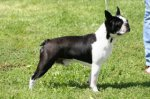 Boston Terrier-Deckrüde in Pardubice (1. Ergebnis)