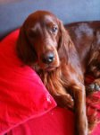 Irish Red Setter-Deckrüde in Berlin (1. Ergebnis)