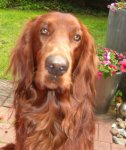 Irish Red Setter-Deckrüde in Nordrhein-Westfalen (2. Ergebnis)