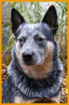 Australian Cattle Dog-Deckrüde in Ungarn (1. Ergebnis)