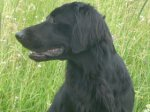Flat-Coated Retriever-Deckrüde in Nordrhein-Westfalen (1. Ergebnis)