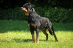 Rottweiler-Deckrüde (20. Ergebnis)