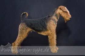 Foto: Airedale-Terrier