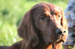 Irish Red Setter-Deckrüde in Nordrhein-Westfalen (1. Ergebnis)