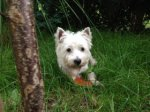 West Highland White Terrier-Deckrüde (3. Ergebnis)
