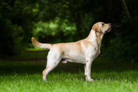 Foto: Labrador Retriever
