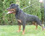 Rottweiler-Deckrüde (14. Ergebnis)