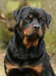 Rottweiler-Deckrüde (6. Ergebnis)
