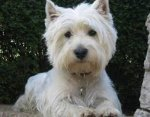 West Highland White Terrier-Deckrüde in Baden-Württemberg (50. Ergebnis)