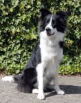 Border Collie-Deckrüde in Nordrhein-Westfalen (2. Ergebnis)