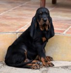 Black and Tan Coonhound-Welpen in Mittelböhmen (1. Ergebnis)