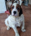 Irish Red and White Setter-Welpen (1. Ergebnis)