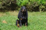 Black and Tan Coonhound-Welpen (5. Ergebnis)