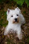 West Highland White Terrier-Welpen in Brandenburg (1. Ergebnis)