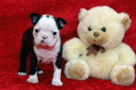 Foto: Boston Terrier