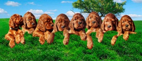 Foto: Irish Red Setter