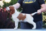 Irish Red and White Setter-Welpen in Lublin (2. Ergebnis)