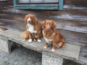 Foto: Nova Scotia Duck Tolling Retriever